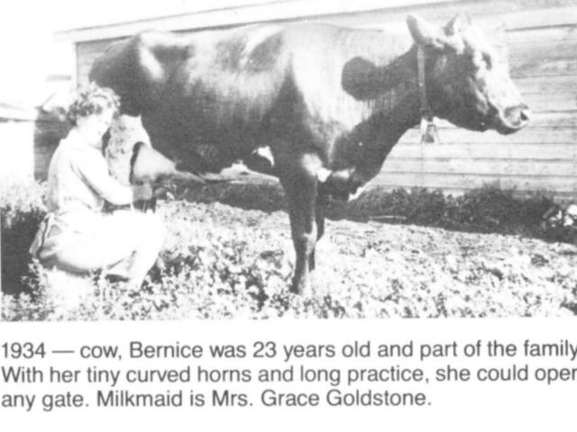 Grace Goldstone milking cow