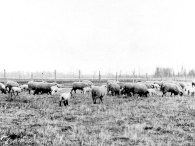Horanskis' sheep