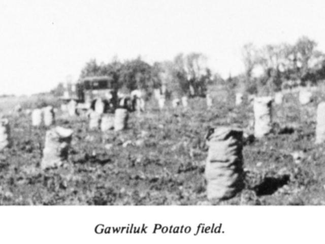 Market Gardening - Gawriluk potato field