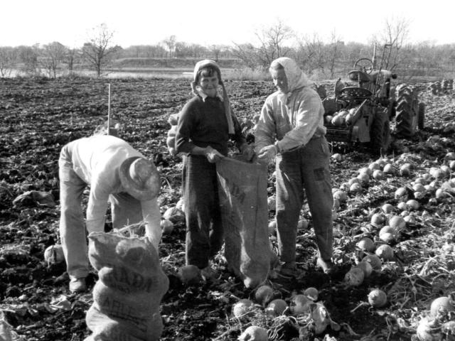 Market Gardening - Harvesting turnips 1960 - Fegols