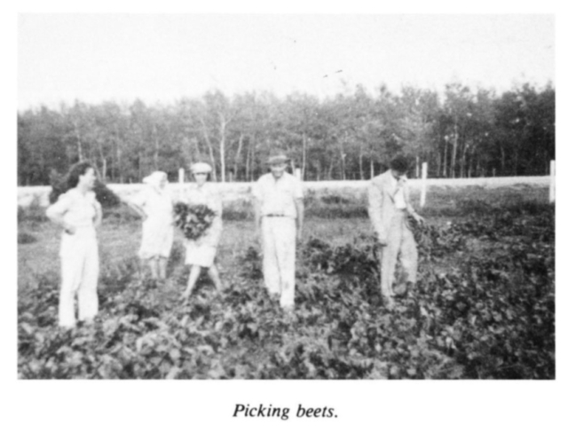 Market gardening - Picking beets