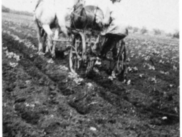 Market gardening - Potatoes 1948