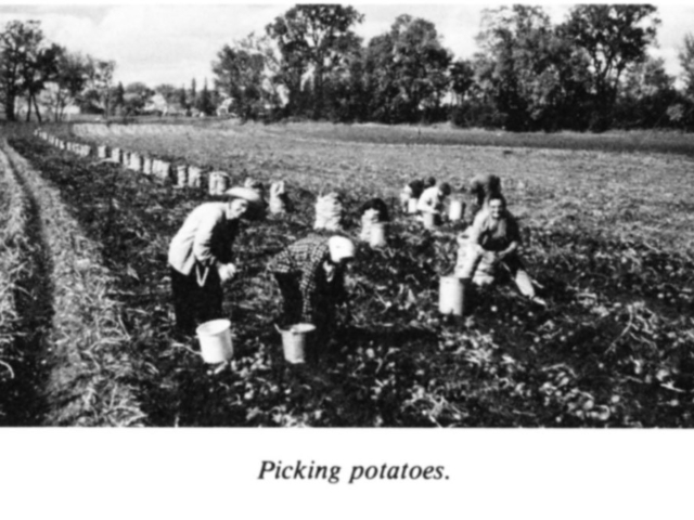 Market gardening - Potatoes at Gonor
