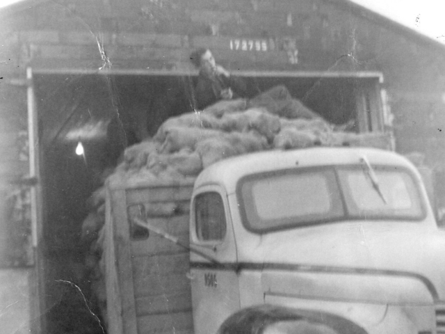 Market gardening - Skrypnyks hauling potatoes to market