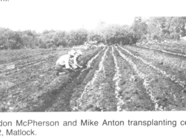 Market gardening - Transplanting celery 1922