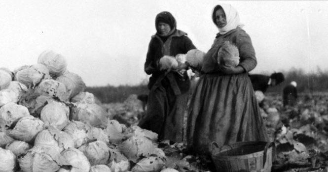 Ukrainian women picking cabbage in St. Clements, Manitoba c. 1910