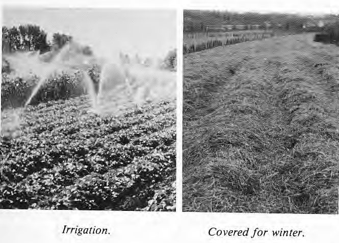 Irrigation and Covered for Winter