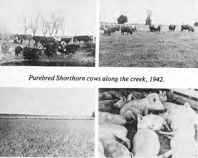 Purebred Shorthorn cows 1942