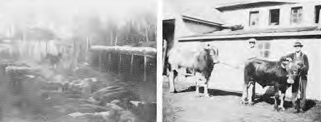 L: Beef Cattle at the creek near the springs on the Rowley Field, 1932            R: Jim Potter and Ken King, Diary Sire in front of the horse bard, 1928
